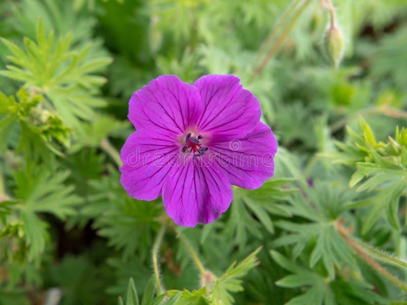 Purpurrote Blume im Garten lizenzfreie stockfotografie