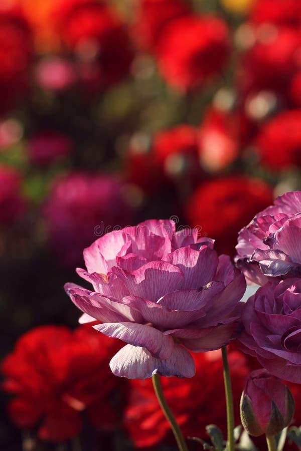 Purpurrote Blume im Garten lizenzfreies stockbild
