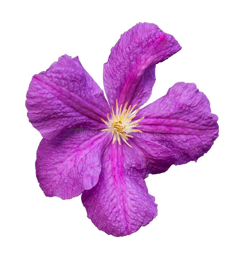 Purpurrote Blume lokalisiert auf Weiß stockbilder