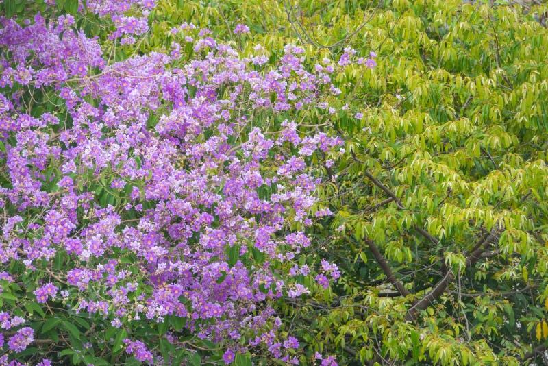 Download Purpurrote Blume Mit Einem Laubbaum Im Wald Stockbild - Bild von flieder, idyllisch: 90236079