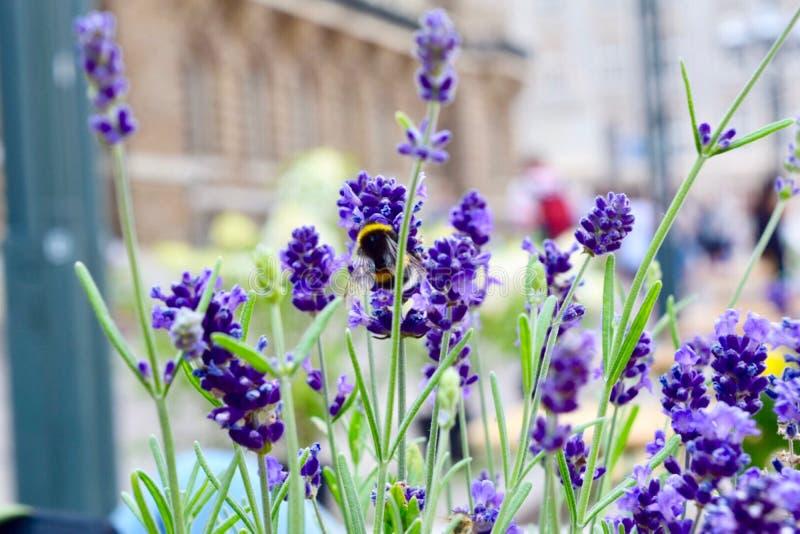 Purpurrote Blume mit einer Note der Biene lizenzfreies stockfoto