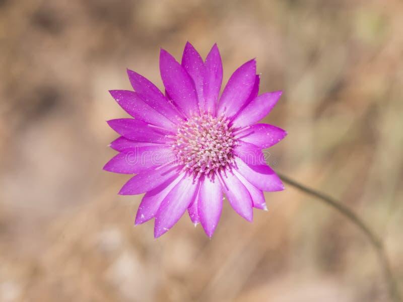Purpurrote Blume von jährlichem ewig oder von Immortelle, Xeranthemum Annuum, makro selektiver Fokus, flacher DOF lizenzfreie stockfotografie