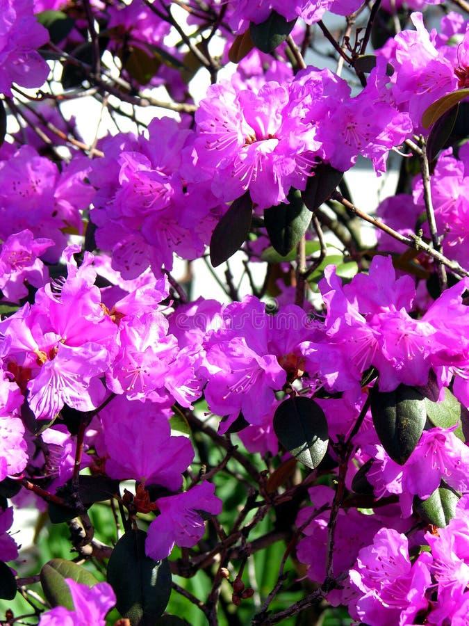 Purpurrote Blumen stockfotos