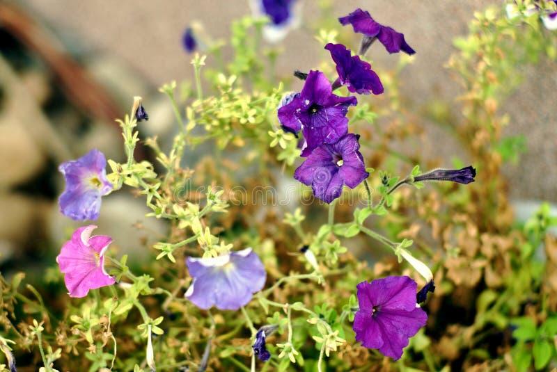 Purpurrote Blumen auf einem interessanten Hintergrund lizenzfreies stockfoto