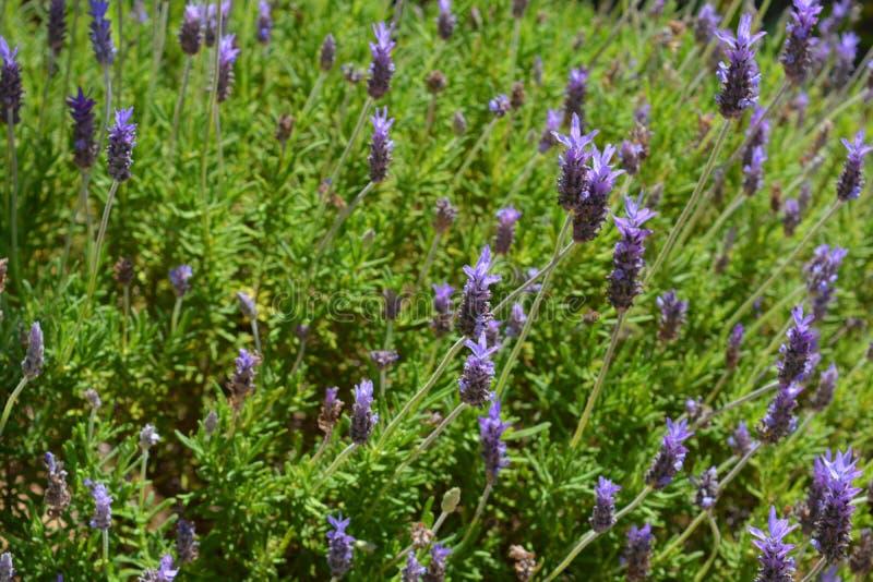 Purpurrote Blumen auf Lavendelbusch lizenzfreie stockfotos