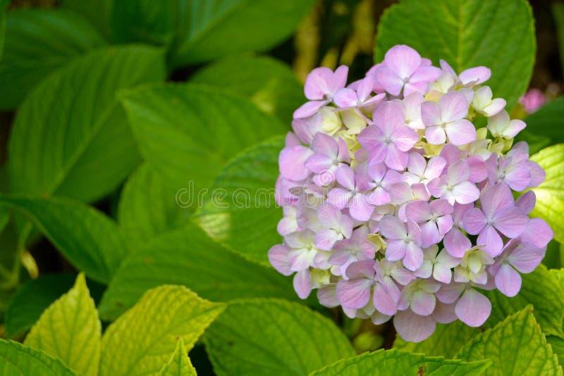 Purpurrote Blumen der Blüte mit grünem Urlaub lizenzfreies stockbild