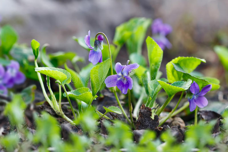 Purpurrote Blumen der Nahaufnahme, die im Frühjahr in der wilden Wiese blühen Feld des grünen Grases gegen einen blauen Himmel mi stockbilder