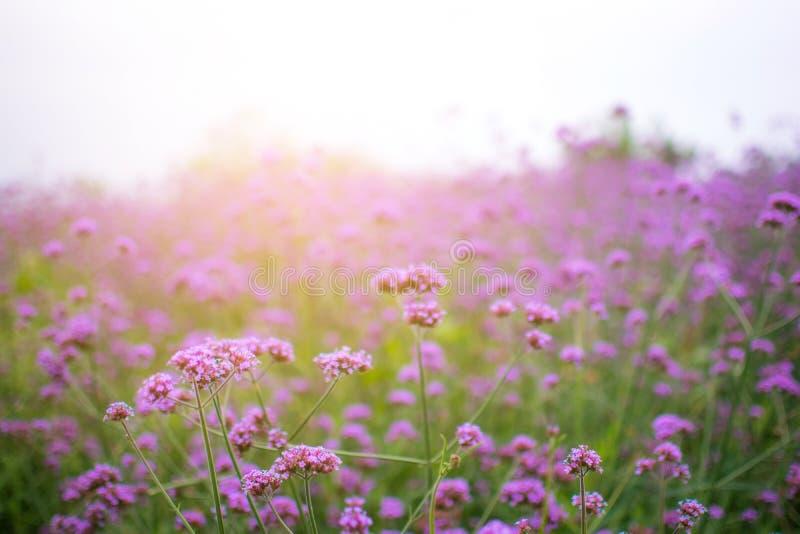 Purpurrote Blumen der Verbene im Park stockfoto