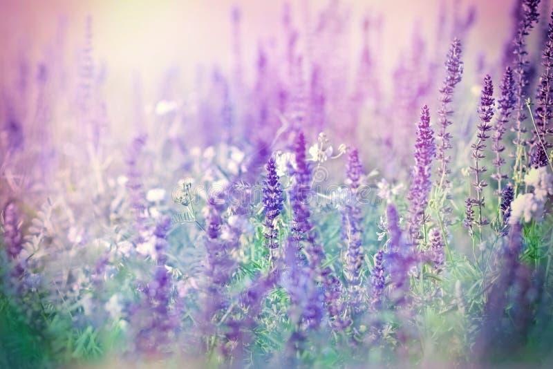 Purpurrote Blumen in der Wiese lizenzfreie stockbilder