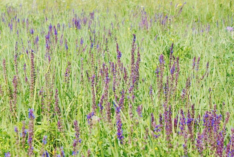 Purpurrote Blumen des Salbeis an der grünen Wiese lizenzfreies stockbild
