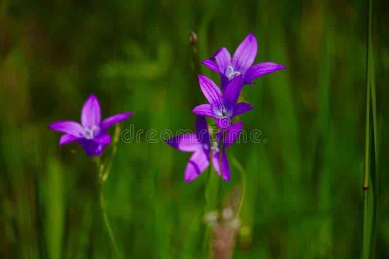 Purpurrote Blumen des schönen Frühlinges auf grünem Hintergrund lizenzfreies stockbild