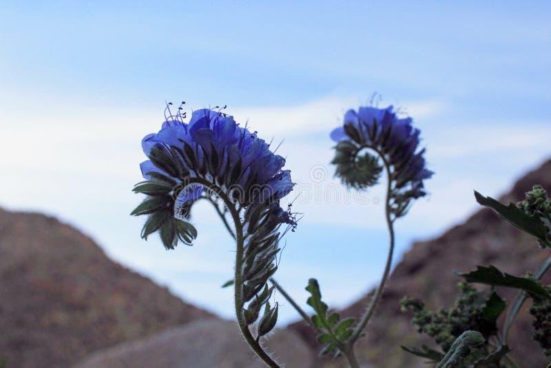 Purpurrote Blumen des wilden Heliotrops, Wüsten-Nationalpark Anza Borrego lizenzfreie stockbilder