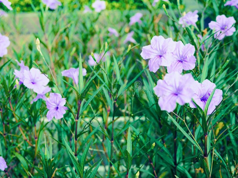 Purpurrote Blumen im Garten lizenzfreie stockfotografie