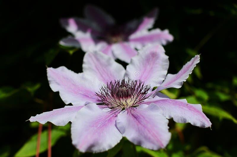 Purpurrote Blumen im Landgarten lizenzfreies stockfoto