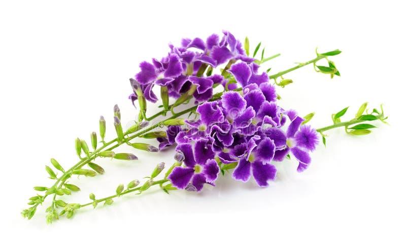 Purpurrote Blumen lokalisiert auf Weiß lizenzfreies stockfoto