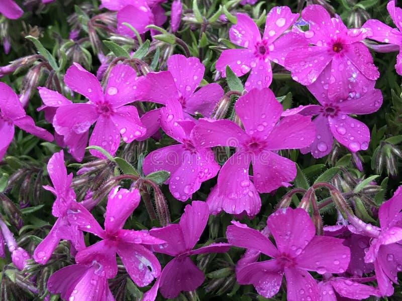Purpurrote Blumen mit Regentropfen lizenzfreie stockbilder