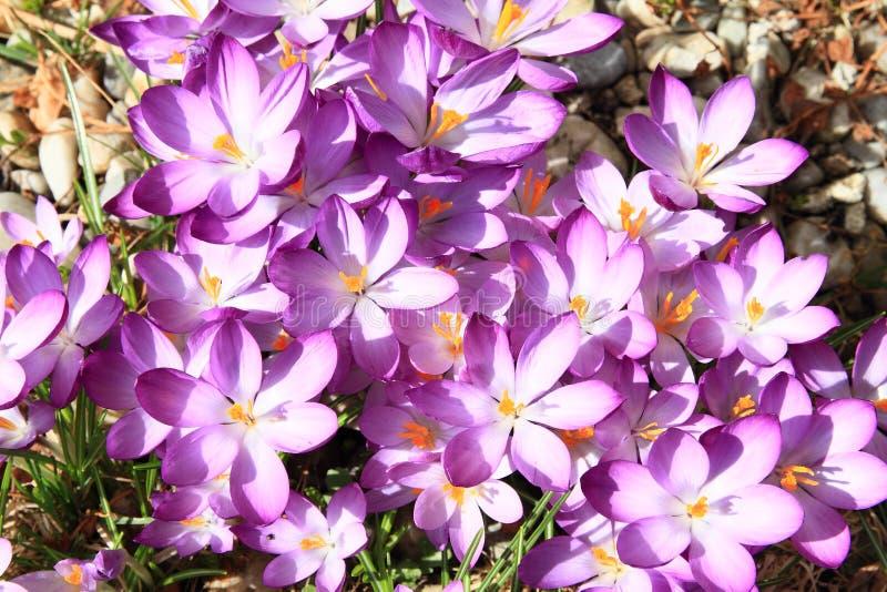 Purpurrote Blumen - Safran stockbild
