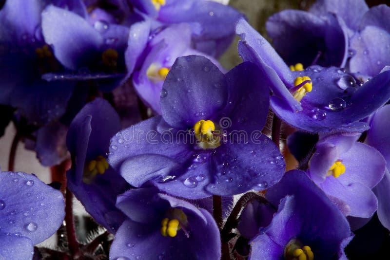 Purpurrote Blumen und Tropfen lizenzfreie stockfotos
