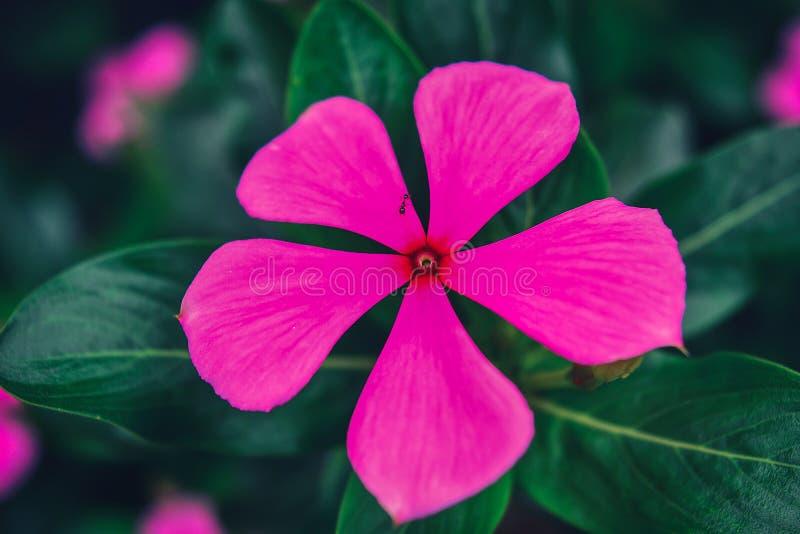 Purpurrote Blumenblätter lizenzfreie stockbilder