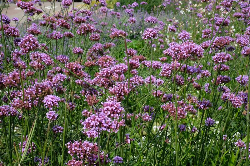 Purpurrote Blumenblüte lizenzfreies stockbild