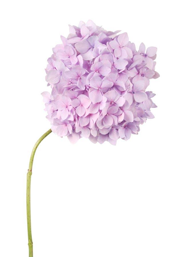 Purpurrote Blumenhortensie (Beschneidungspfad) stockbild
