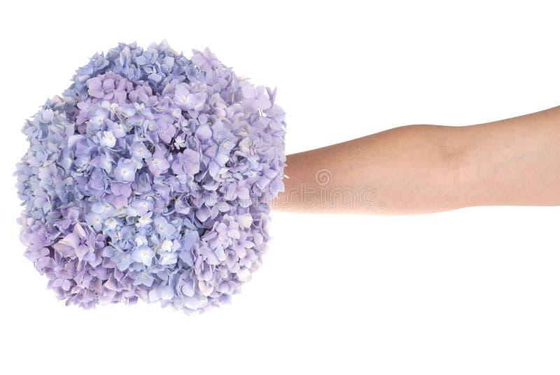 Purpurrote Blumenhortensie in der Hand (Beschneidungspfad) stockfoto
