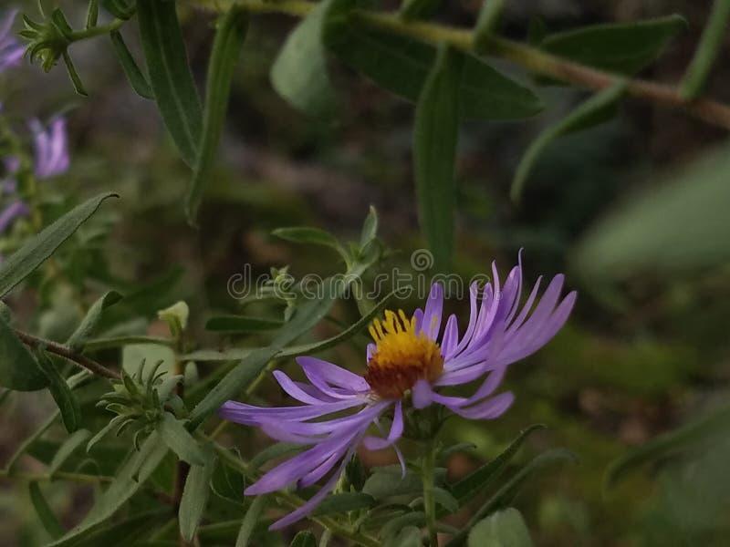 purpurrote Blumennatur lizenzfreie stockfotografie