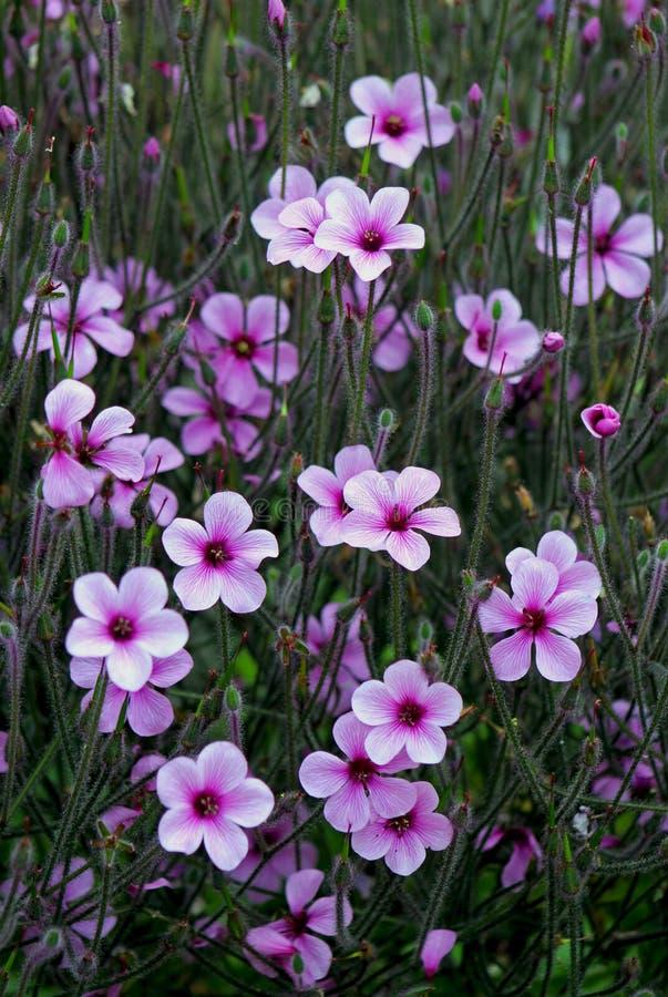 Purpurrote Blumenwiese von riesigem Krautrobert oder das Madeira-cranesbill lizenzfreie stockfotografie