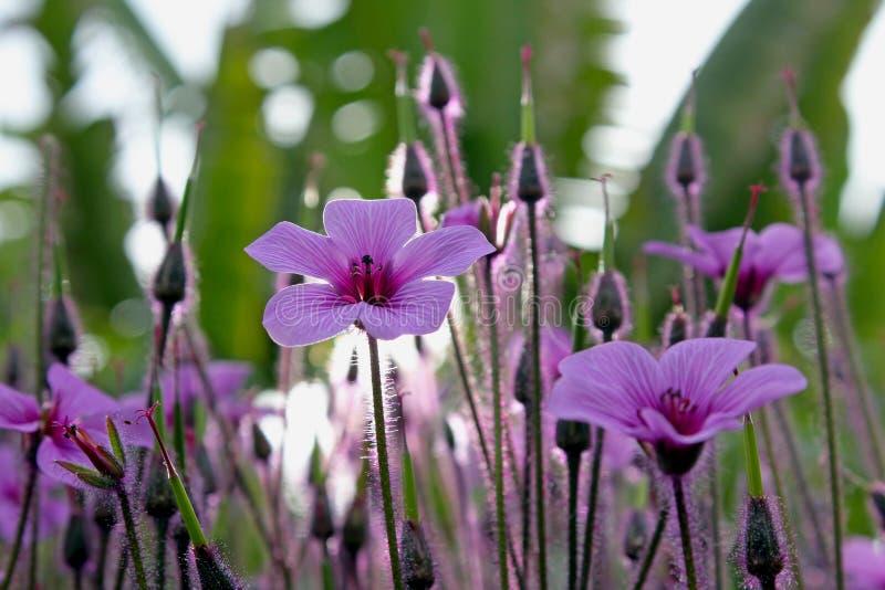 Purpurrote Blumenwiese von riesigem Krautrobert oder das Madeira-cranesbill lizenzfreie stockfotos