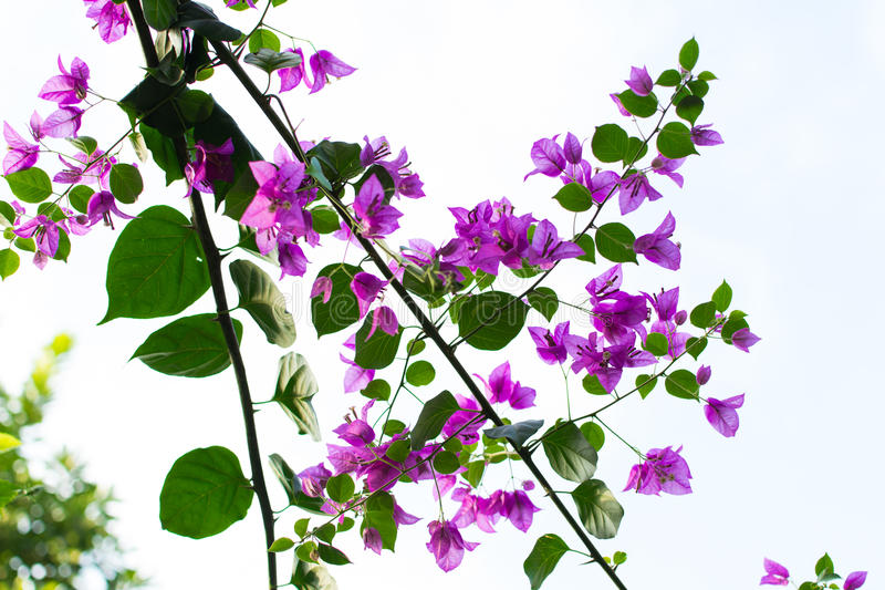 Purpurrote Bouganvillablumen mit grünen Blättern stockfoto