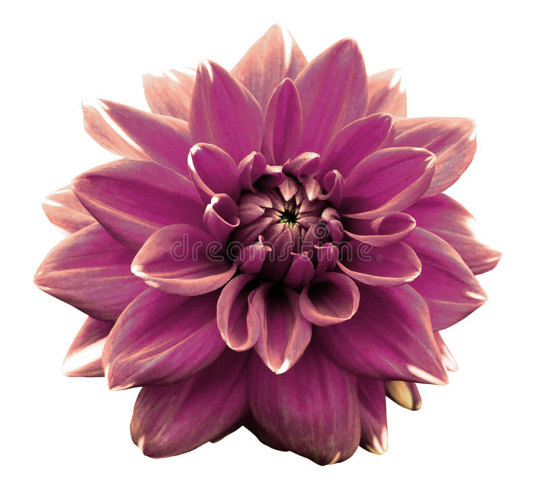 Purpurrote bunte Dahlie der Blume Getrennt auf einem weißen Hintergrund Nahaufnahme ohne Schatten stockfoto