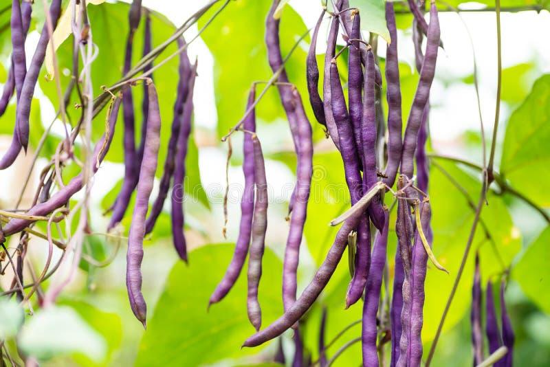 Purpurrote Buschbohnen im organischen Gemüsegarten lizenzfreie stockbilder