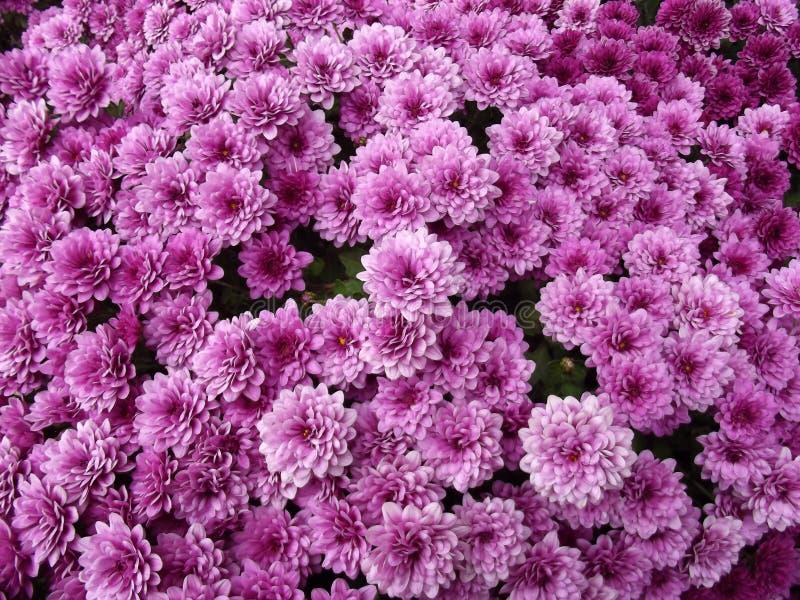 Purpurrote Chrysanthemen-natürlicher Hintergrund stockbild
