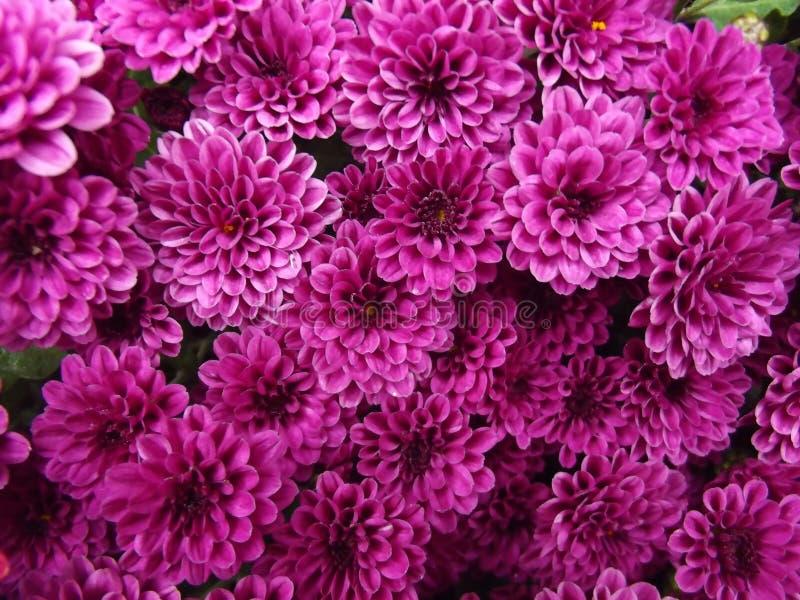 Purpurrote Chrysanthemen-natürlicher Hintergrund lizenzfreie stockfotos