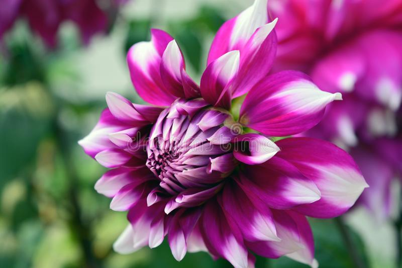 Purpurrote Dahlia White Tips Flower stockbilder