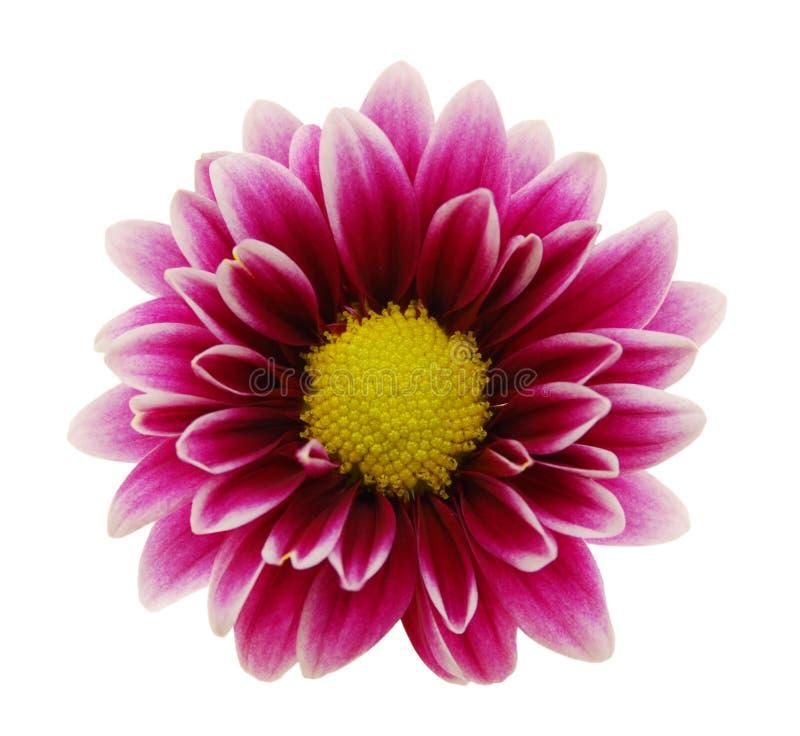 Purpurrote Dahlieblume stockbilder