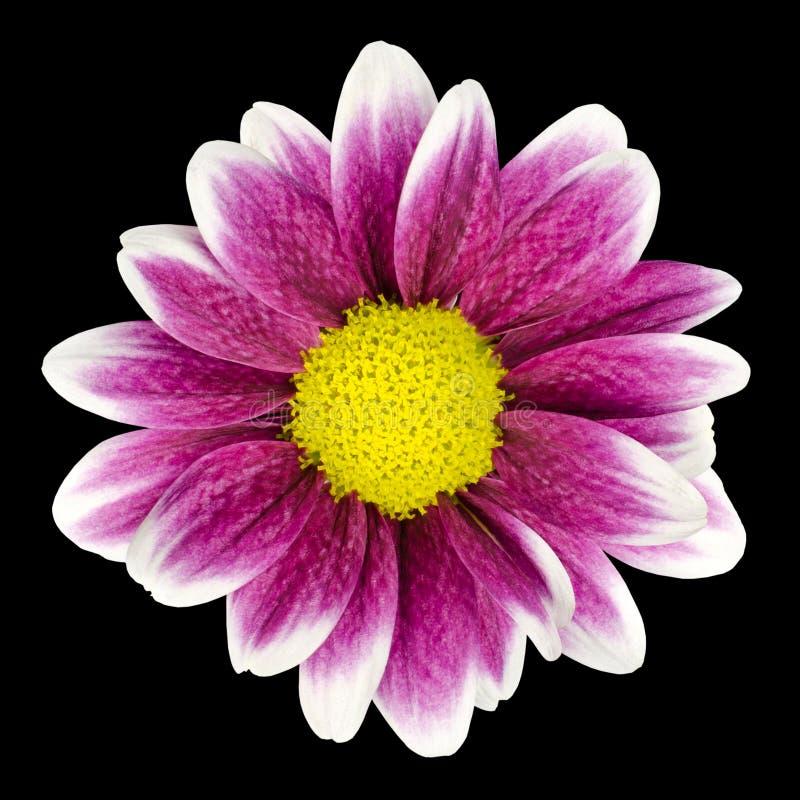 Purpurrote Dahlieblume mit der gelben Mitte getrennt lizenzfreie stockbilder