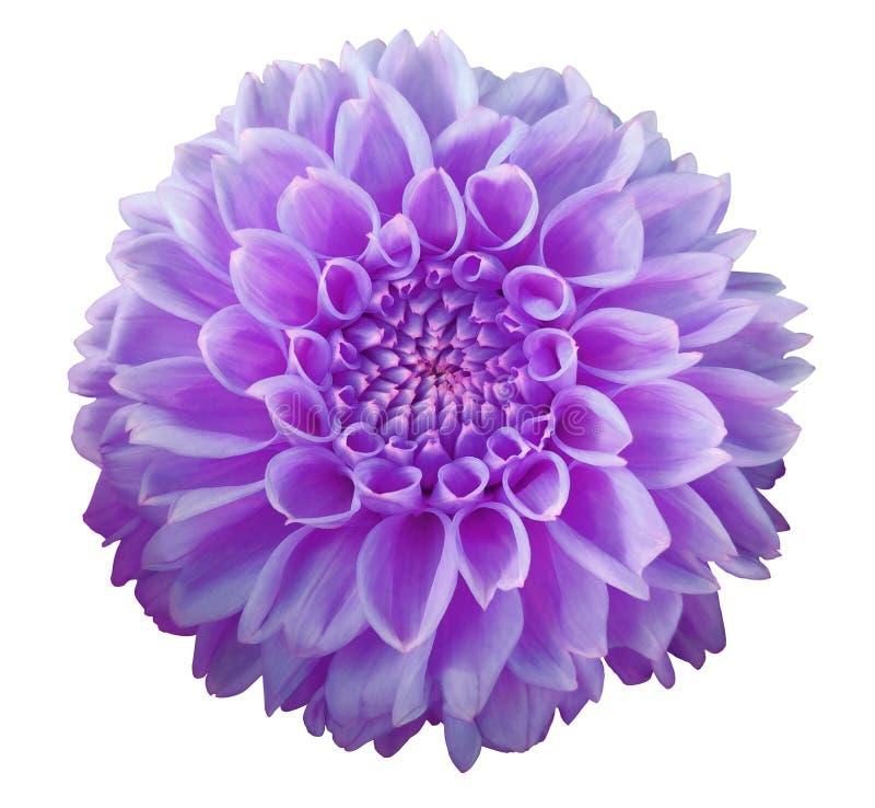 Purpurrote Dahlienblume, weißer Hintergrund lokalisiert mit Beschneidungspfad nahaufnahme lizenzfreie stockbilder