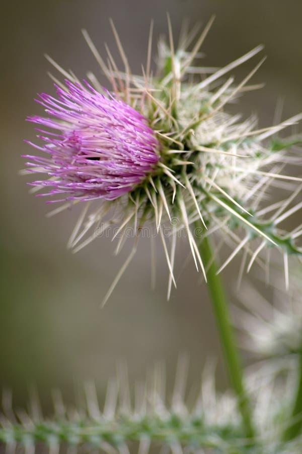 Download Purpurrote Distel-Blume 3 stockbild. Bild von d0, blumen - 41269