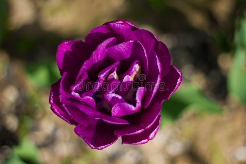 Purpurrote doppelte Tulpe aus den Grund und das Gras Purpurrote Burgunder Blumennahaufnahme Terrys an einem sonnigen Sommertag lizenzfreies stockbild
