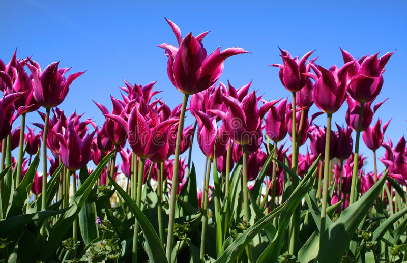 Purpurrote farbige Tulpen stockfotos