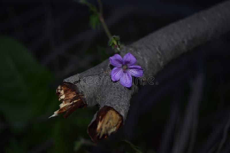 Purpurrote Feldblume lizenzfreies stockbild