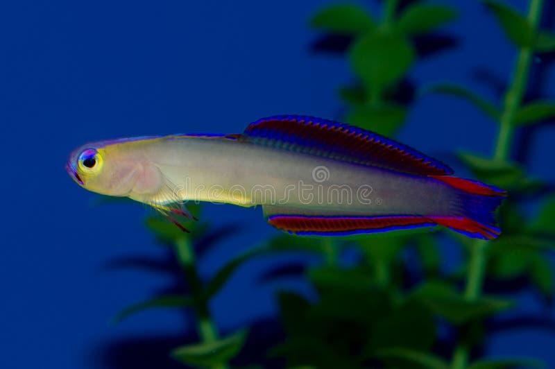 Purpurrote firefish lizenzfreie stockbilder