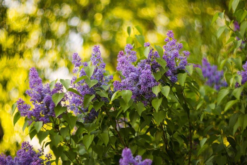 Purpurrote Fliedern im lila Garten stockbild