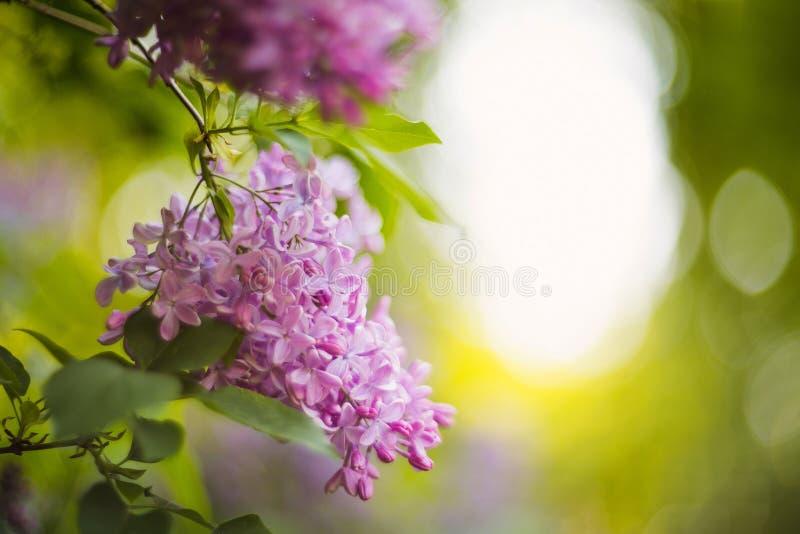 Purpurrote Fliedern im lila Garten lizenzfreie stockbilder