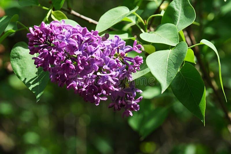 Purpurrote Frühlingsblütentraubeblütentraube des lila dekorativen Strauchs, lateinischer Name Syringa, vielleicht Syringa gemein lizenzfreies stockbild