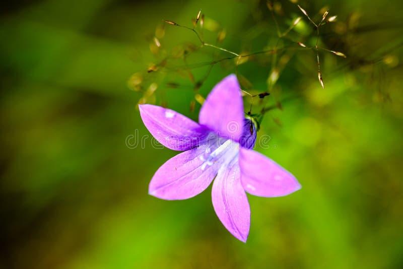 Purpurrote Frühlingsblumen auf grünem Hintergrund lizenzfreies stockbild