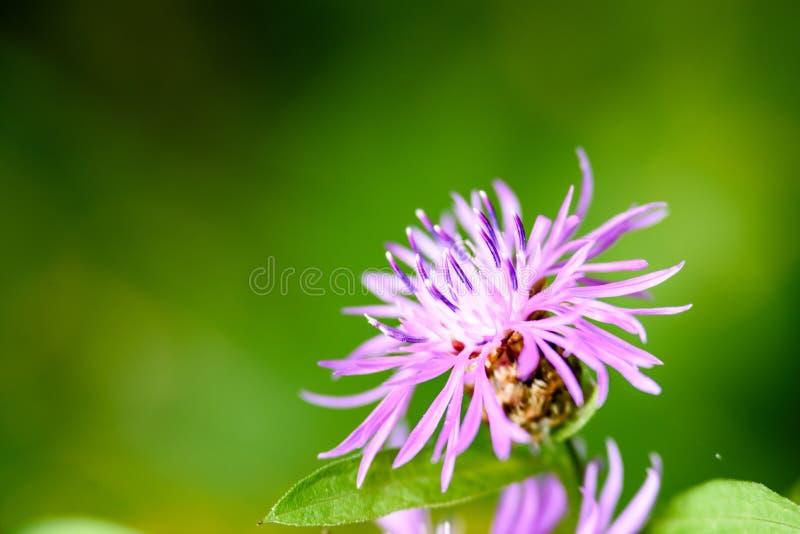 Purpurrote Frühlingsblumen auf grünem Hintergrund stockfoto