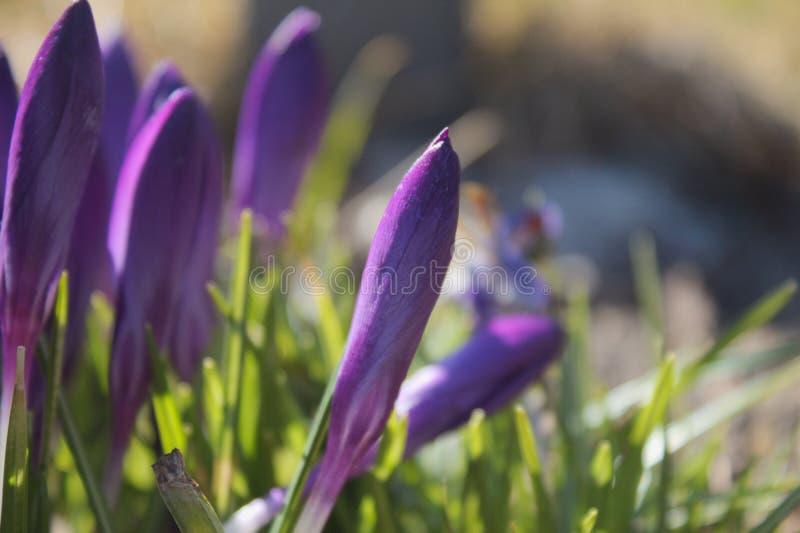 Purpurrote Frühlingsblumen im Tageslicht lizenzfreie stockbilder