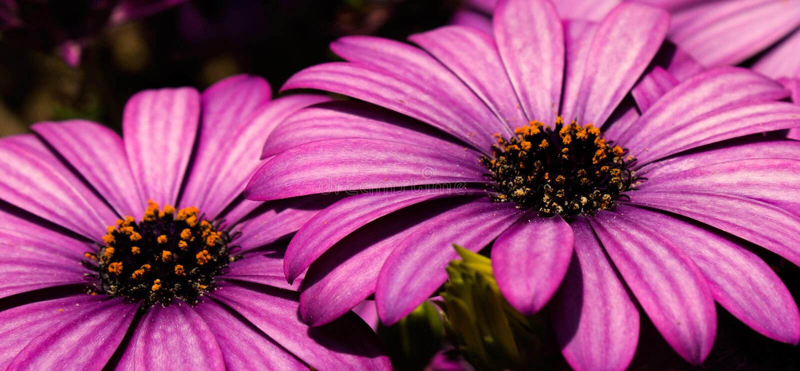 Purpurrote Gänseblümchen. stockbild